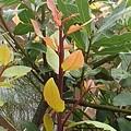 庭の黄色の葉(10月12日)