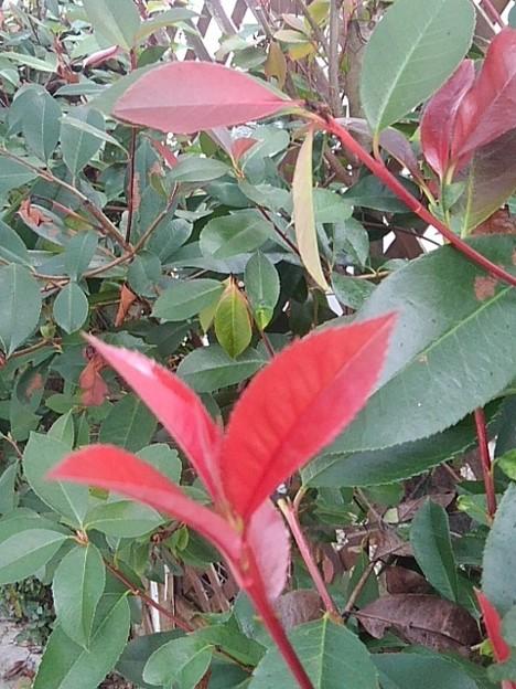 庭の赤い葉(10月12日)