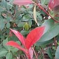 Photos: 庭の赤い葉(10月12日)