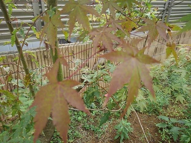 Photos: 庭のモミジ(10月12日) (3)