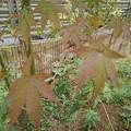 庭のモミジ(10月12日) (3)