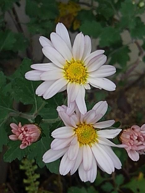 ピンクの花(10月26日)
