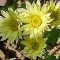 黄色い花(10月27日)