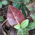 赤い葉(10月19日)