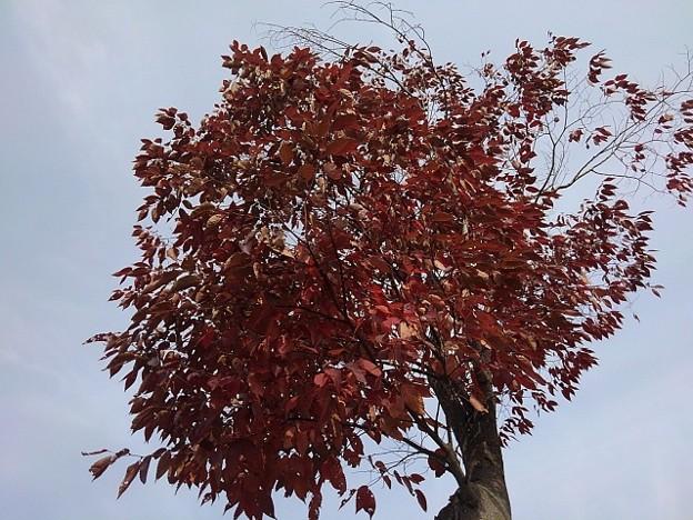 赤い葉の木(10月28日)