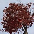 Photos: 赤い葉の木(10月28日)