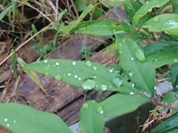 鉢植えの花の雫(10月23日)