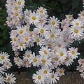 白い花・横長バージョン(11月2日)