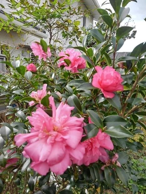 Photos: サザンカ(11月4日)