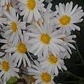 白い花・縦長バージョン(11月2日)