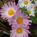 淡いピンクの花(11月8日)