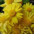 黄色い花(11月8日)