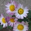 輪が綺麗な花(11月11日)