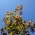 Photos: 庭のモミジ・緑多め(11月12日)