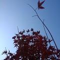 赤モミジと青空(11月12日)