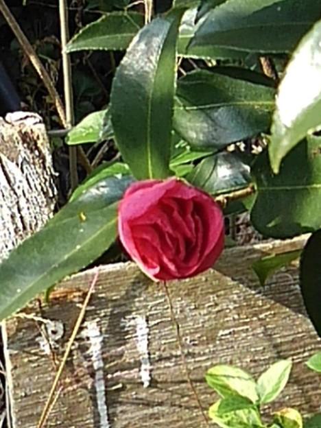 咲き始めのサザンカ(11月19日)