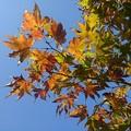 庭のモミジ・橙多め(11月12日)