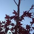 太い枝もあるモミジの景色(11月12日)