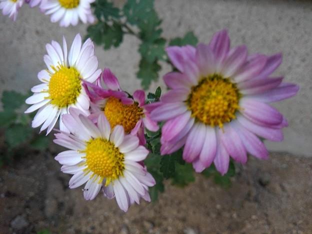 Photos: 白と赤紫の花(11月11日)