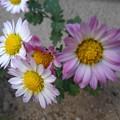 白と赤紫の花(11月11日)