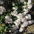 白い花(11月13日)
