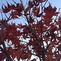庭の赤モミジ(11月15日)