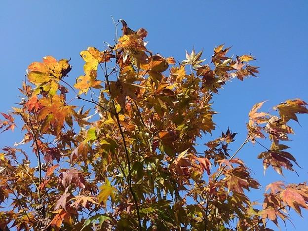 庭の橙モミジ(11月15日)
