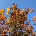 Photos: 庭の橙モミジ(11月15日)