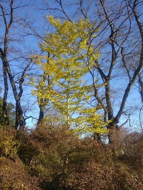 Photos: 長峰公園のイチョウの木(11月14日)