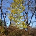 長峰公園のイチョウの木(11月14日)