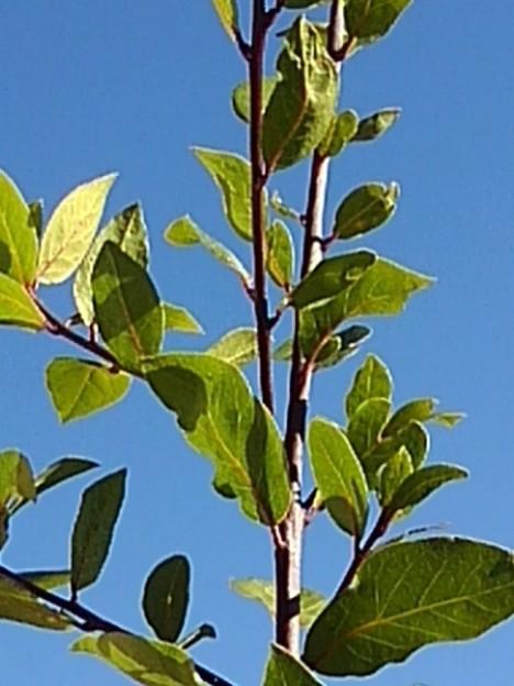 緑の葉(11月23日)