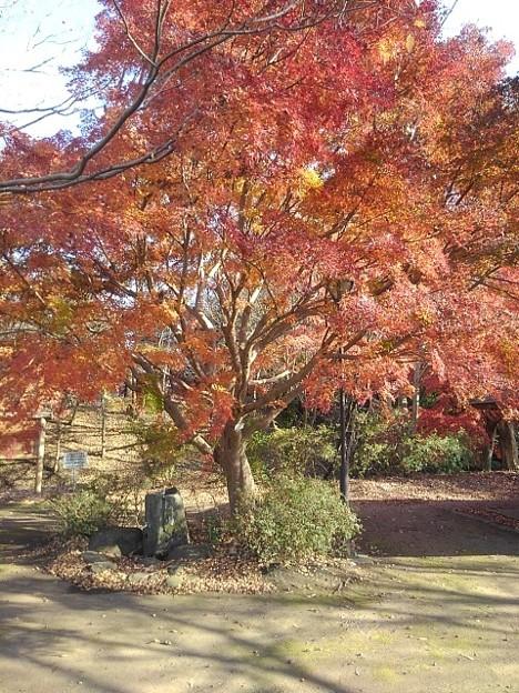 ゆうゆうパークの丘の赤いモミジ(11月22日)