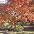 Photos: ゆうゆうパークの丘の赤いモミジ(11月22日)