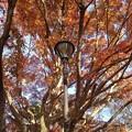 Photos: 赤いモミジと電灯(11月22日)