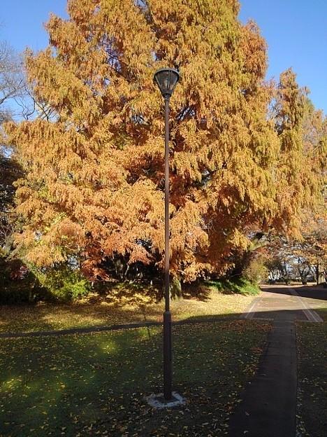 橙色の葉と街灯の共演(11月22日)