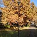 Photos: 橙色の葉と街灯の共演(11月22日)