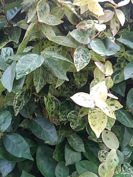緑と白の葉(11月26日)