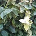 Photos: 緑と白の葉(11月26日)