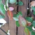 Photos: 木の壁と葉(11月26日)