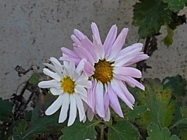 Photos: 白とピンクの花(12月1日)