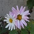 白とピンクの花(12月1日)