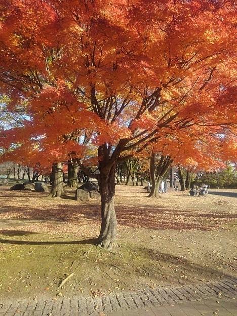 公園の赤いモミジの木(11月14日)