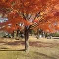 Photos: 公園の赤いモミジの木(11月14日)