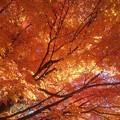 公園の橙モミジ天井(11月14日)
