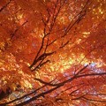 Photos: 公園の橙モミジ天井(11月14日)
