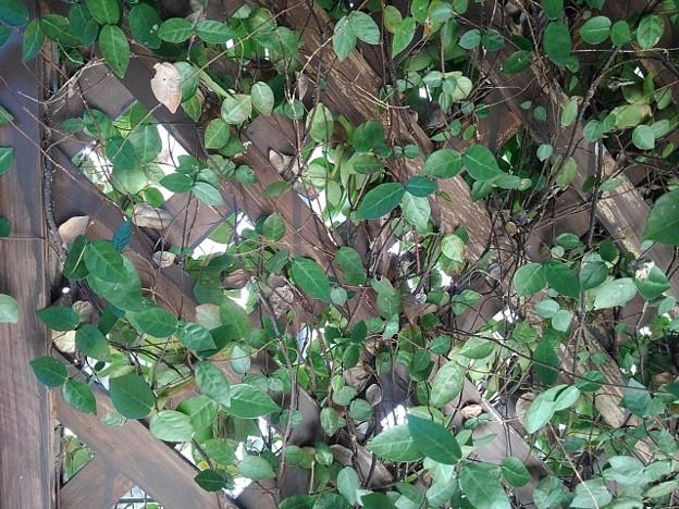 緑の葉(11月30日)