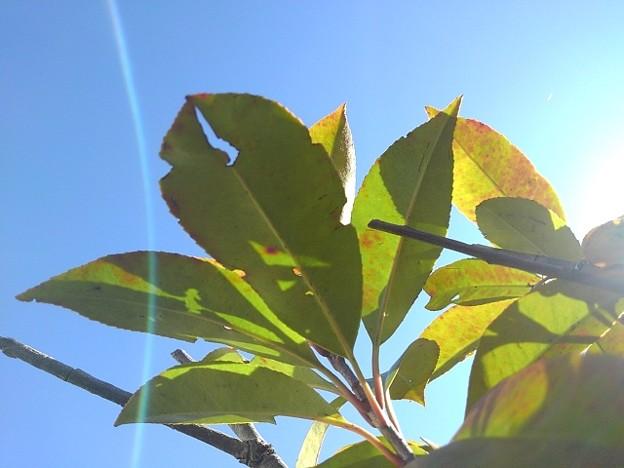 緑の葉(12月1日)