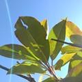 Photos: 緑の葉(12月1日)
