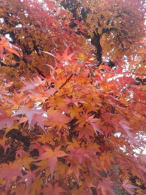 Photos: 街路樹のモミジ(12月10日)