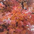 街路樹のモミジ(12月10日)